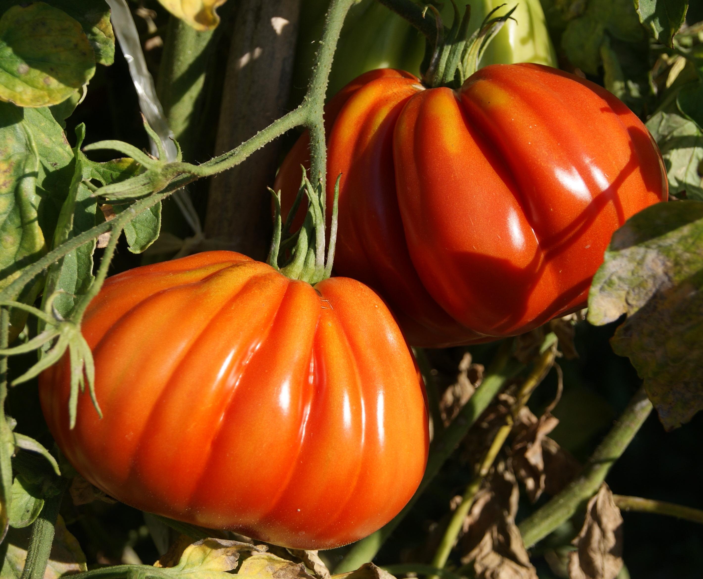Tomates le jardin de kupaia - Planter des tomates coeur de boeuf ...
