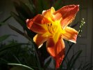 Amaryllis flower orange red